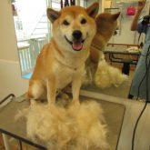 こんもり❤   柴犬のクウちゃん!(^^)!  今回もた~~っぷり抜け毛大収穫で~す✩ &nbs…