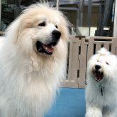4-DOGSからイベントのお知らせです(^_-)-☆  4月25日(日) 室内ドッグランにて 『ワンコ交流会』を開催致します!!(#^…